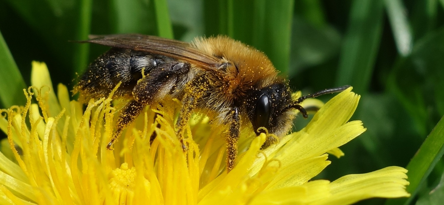 Nadine Mitschunas_solitary bee Andrena nitida on Dandelion