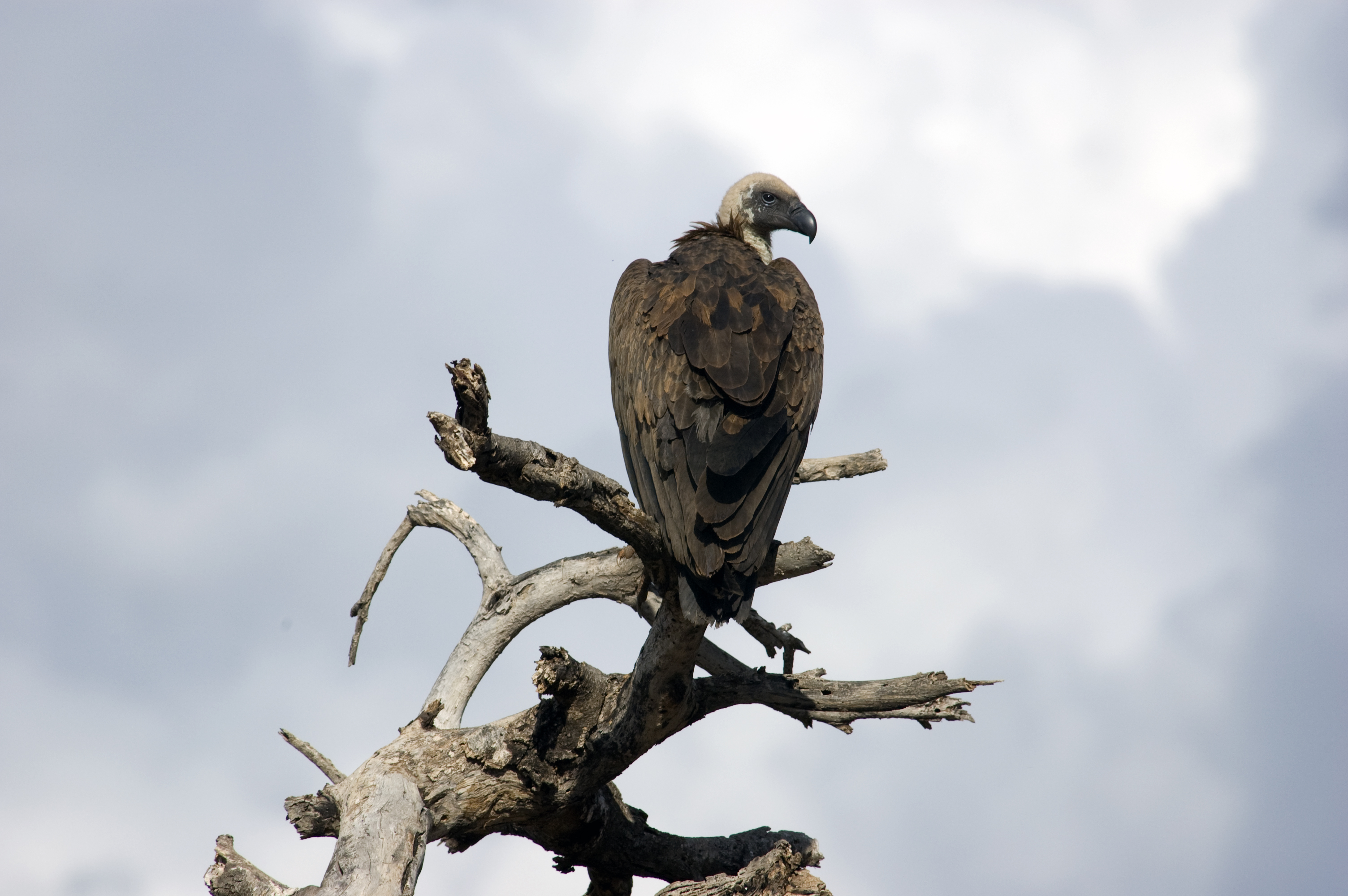 Vulture in Kenya under stormy skies Photo: William Hentley