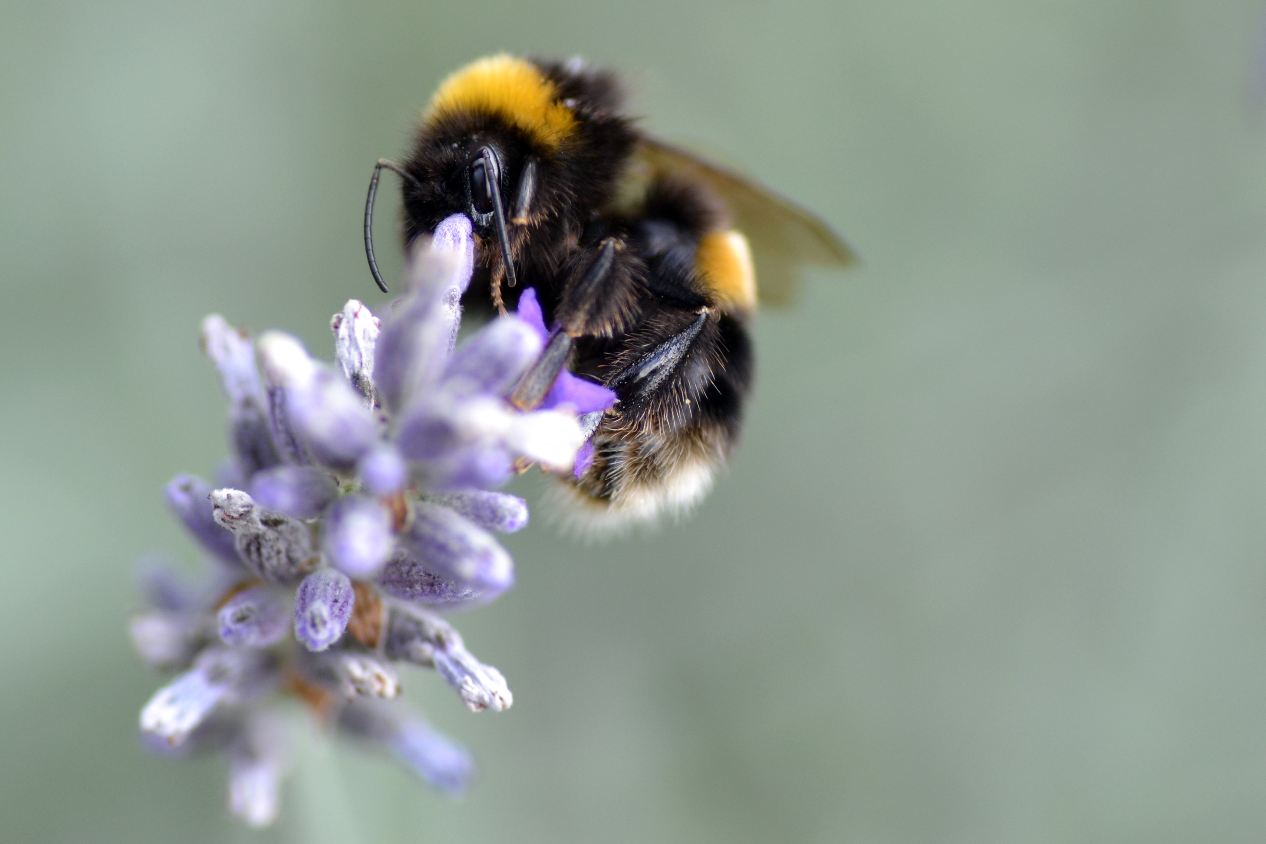 White tailed bumble bee on lavender - Image by Denise Pallett