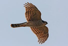 Sparrowhawk © Fotosearch.com