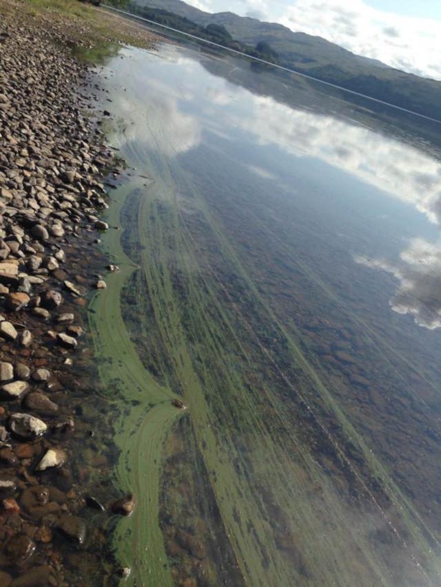 Wisps or foam of cyanobacteria