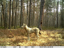 Wolf ©TREE Project