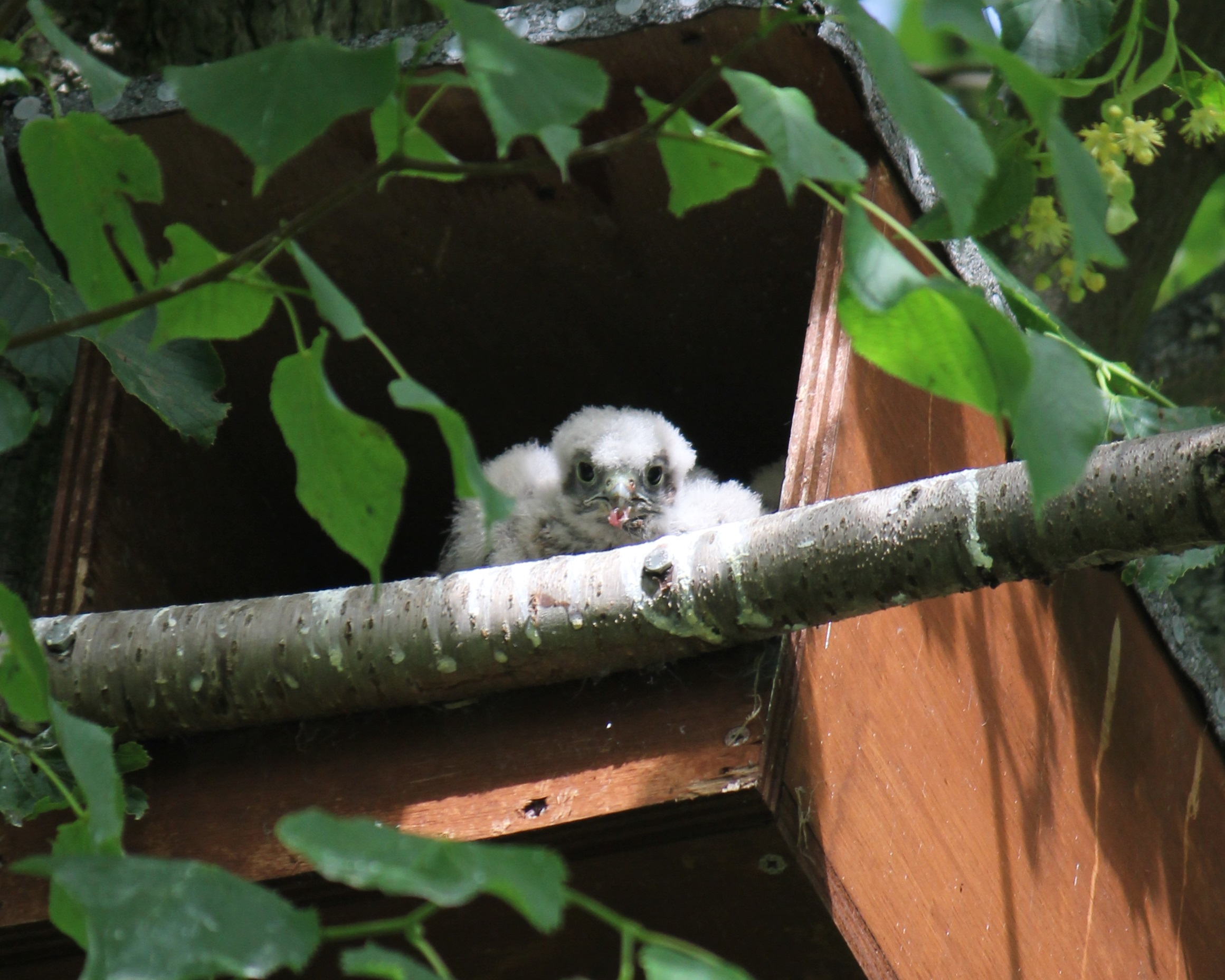 Kestrel chick at CEH Wallingford site 2014