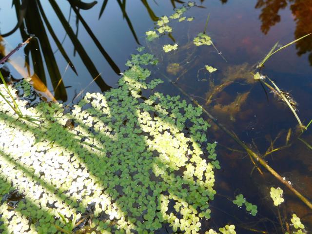 Bush pond duckweed (Lemna)