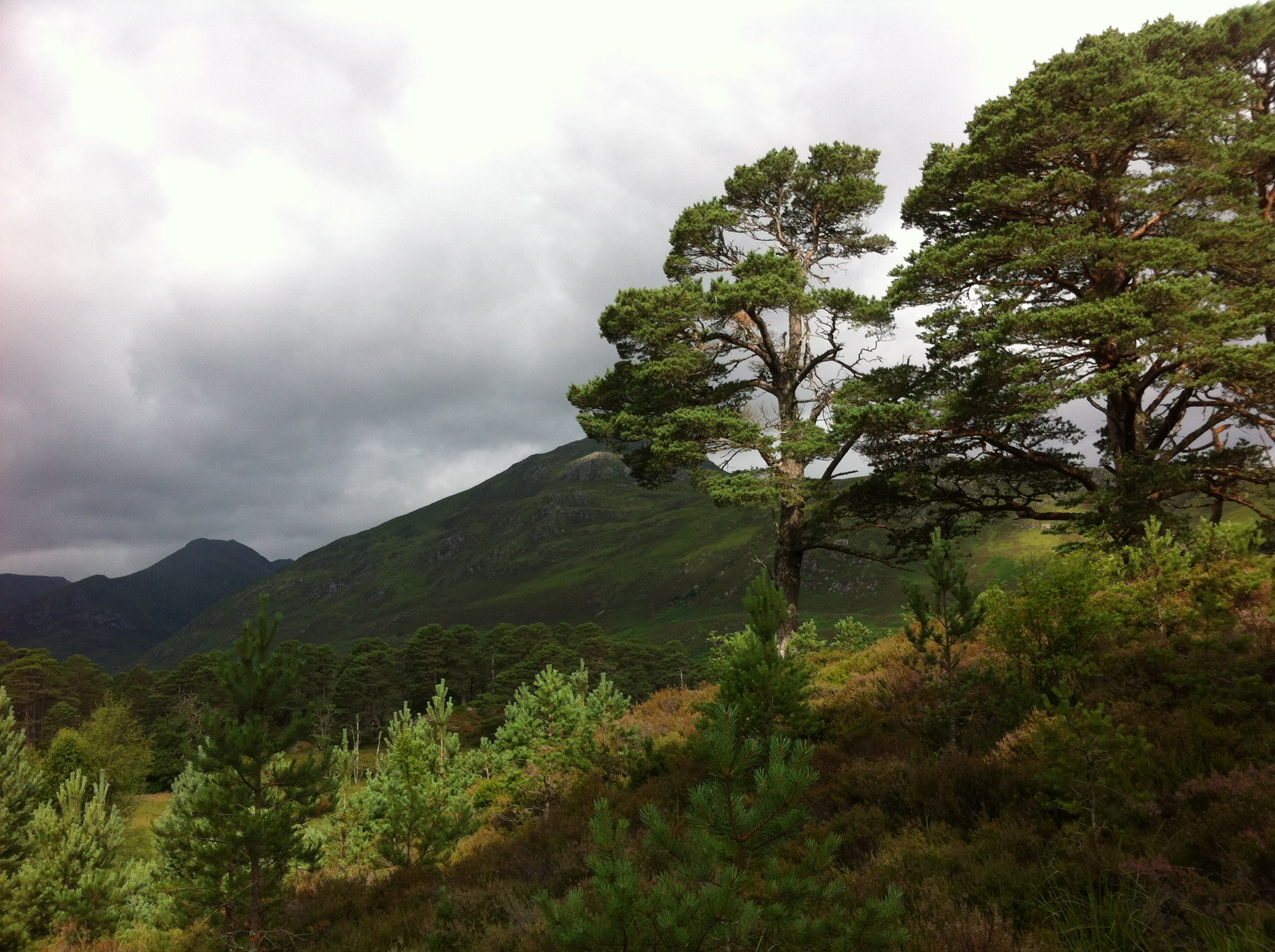 Regenerating trees surrounding mature Scots pine