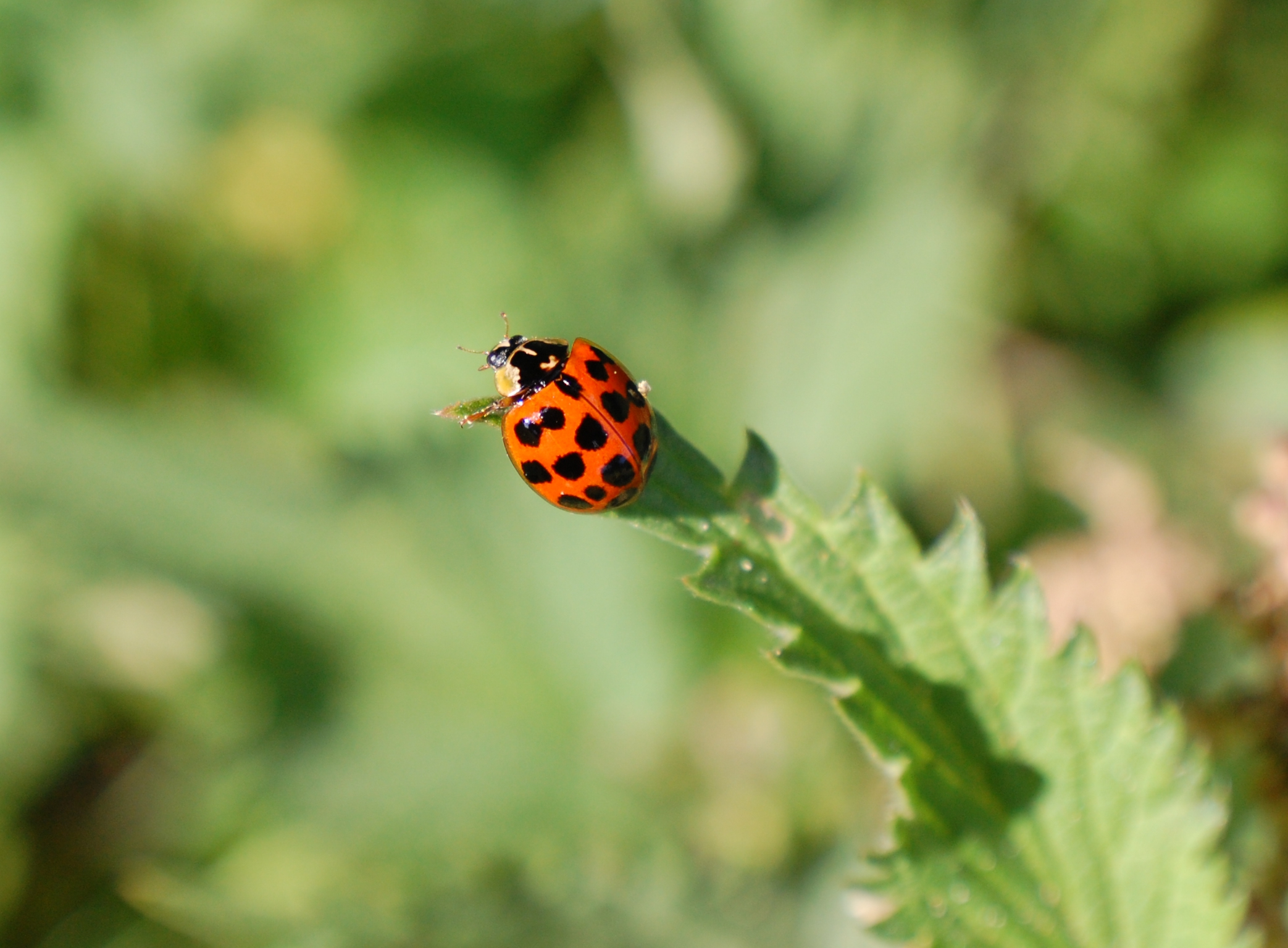 Harlequin ladybird - Image by Richard Comont