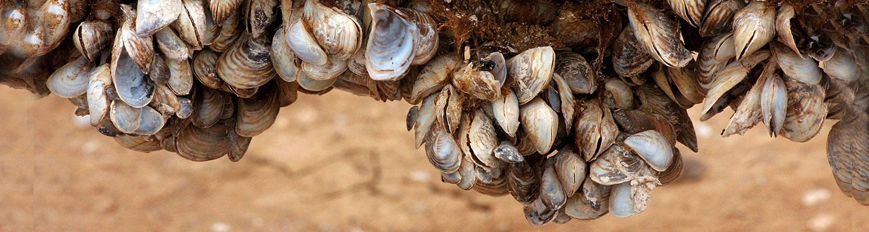 Quagga mussel © J. N. Stuart