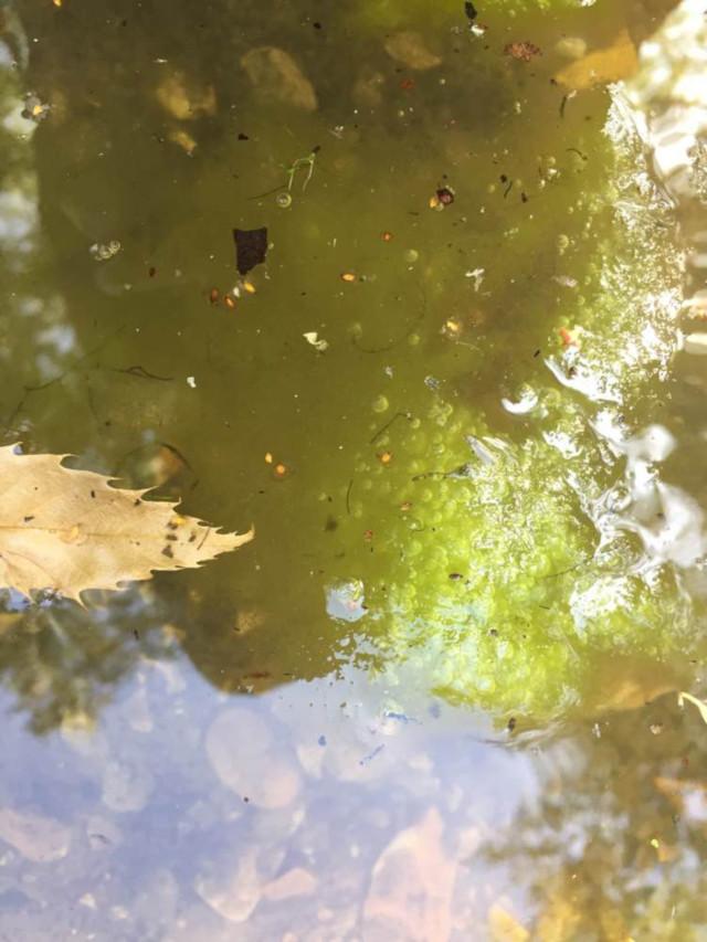 Filamentous algae