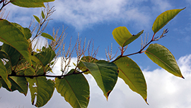 Japanese Knotweed (Fallopia japonica)  © Shutterstock