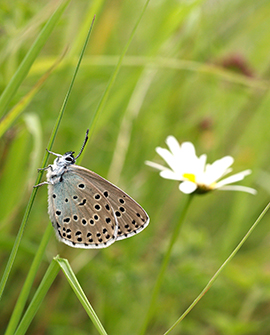 Large Blue Butterfly © J A Thomas and D J Simcox
