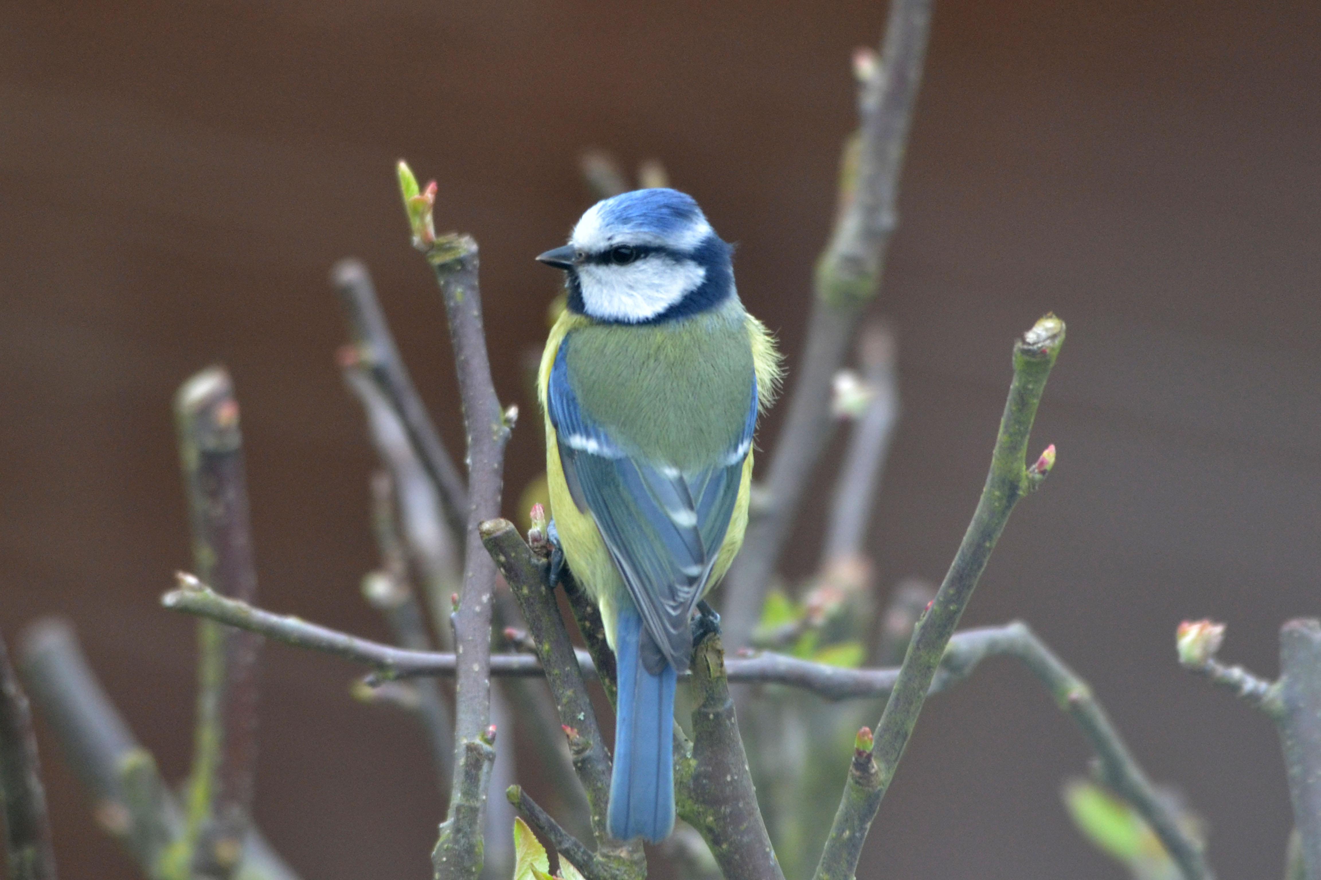 A blue tit on jasmine in the spring Photo: Denise Pallett