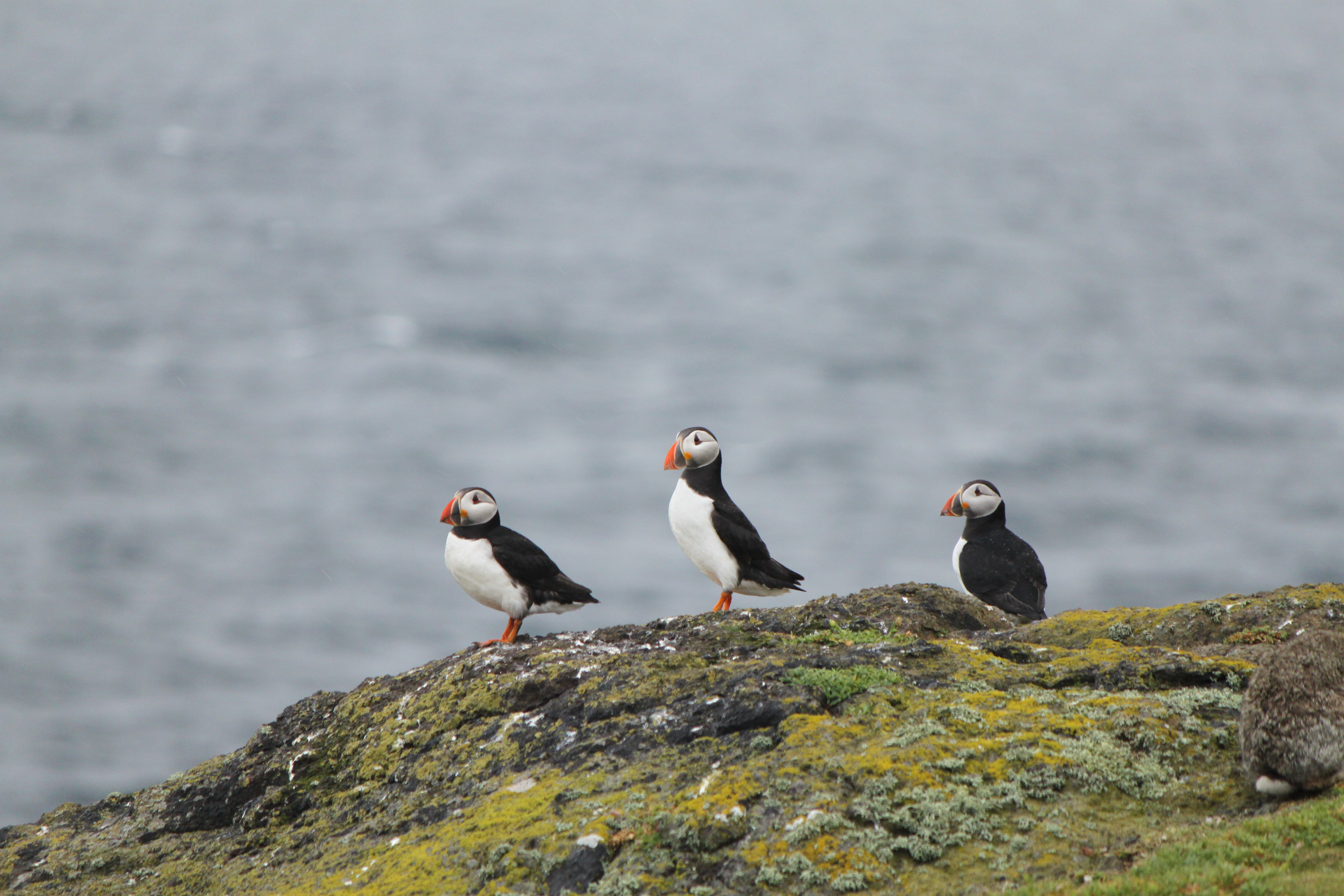 Isle of May puffins from distance