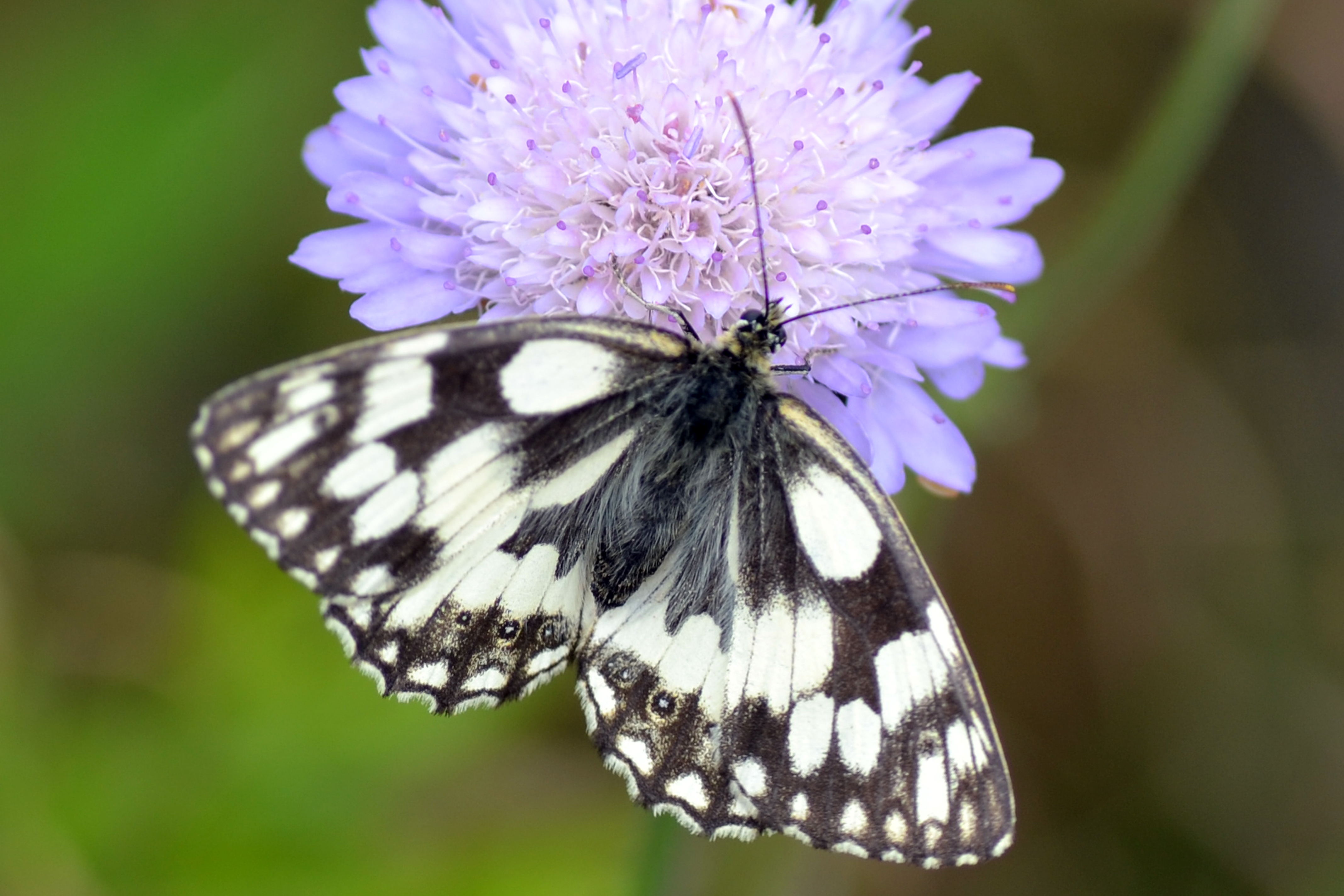 Marbled white butterfly, Melanargia galathea, on Scabious at Upper Seeds, Wytham Woods, Oxfordshire