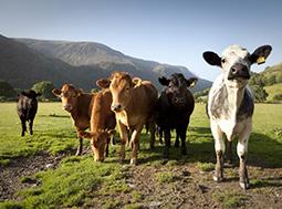 Cows in Snowdonia  © Shutterstock