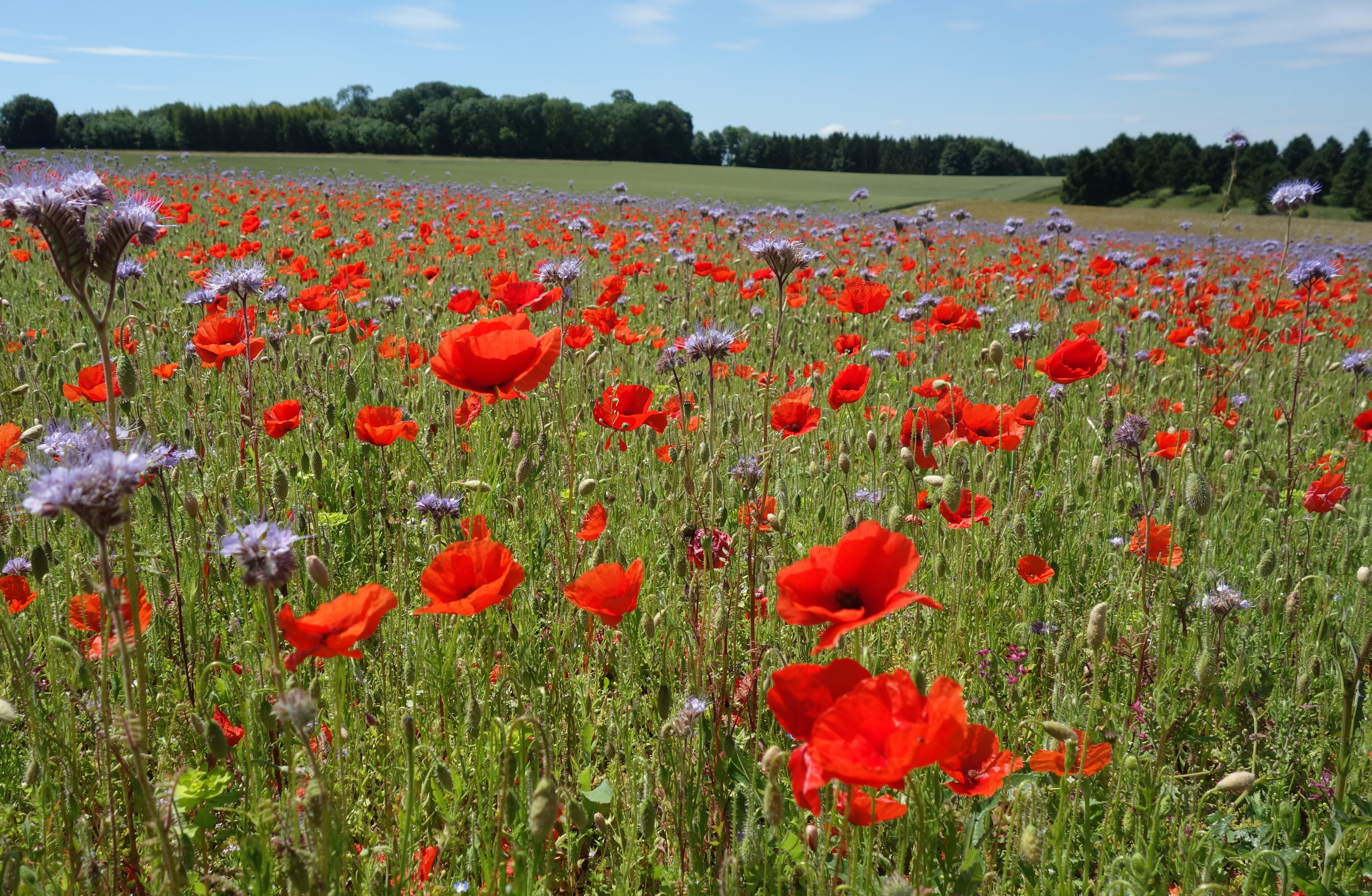 field sown with Poppies and Phacelia
