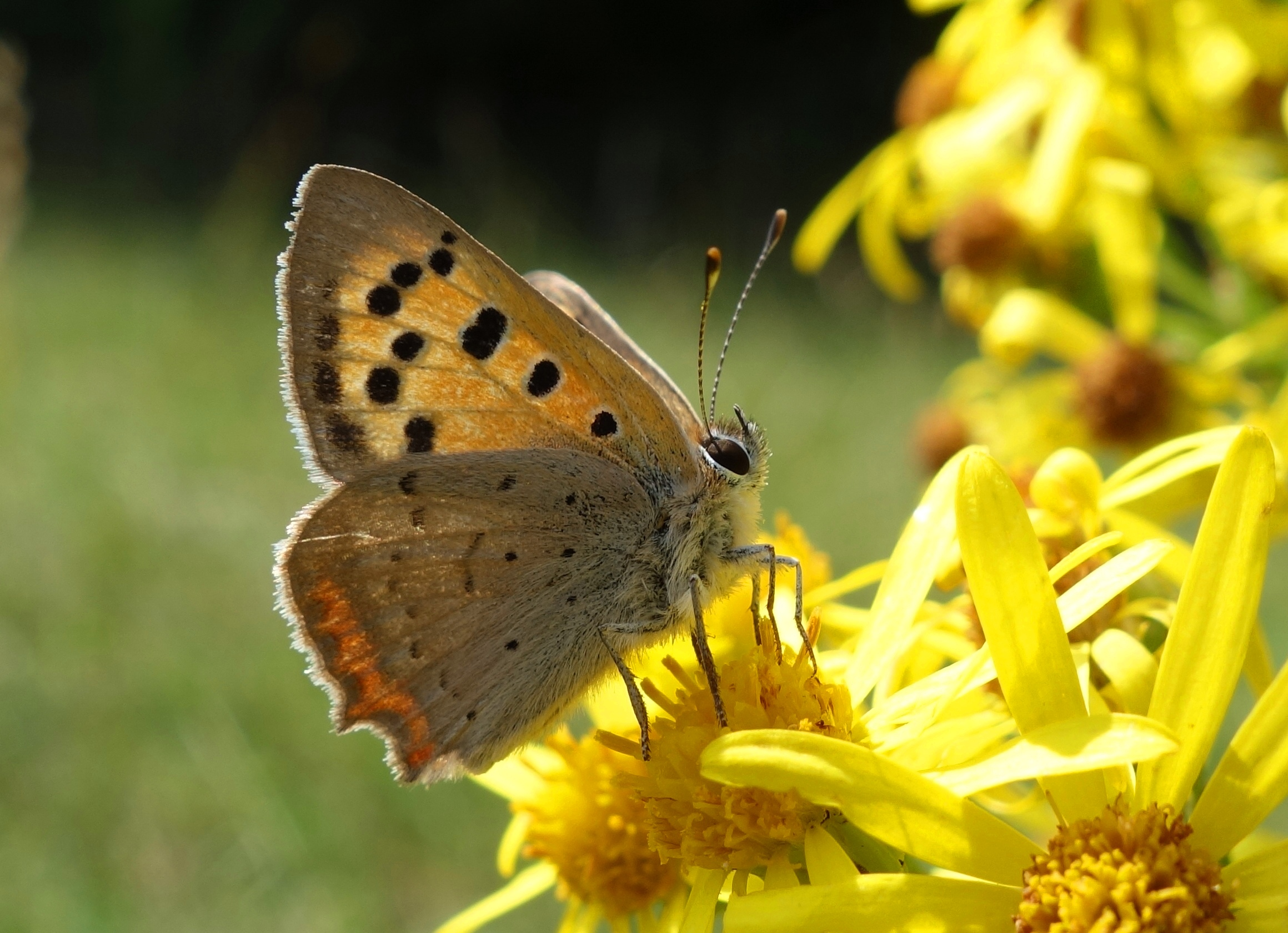 Small Copper drinking nectar from Ragwort. Photo: Nadine Mitschunas