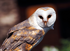 Barn Owl © Fotosearch.com