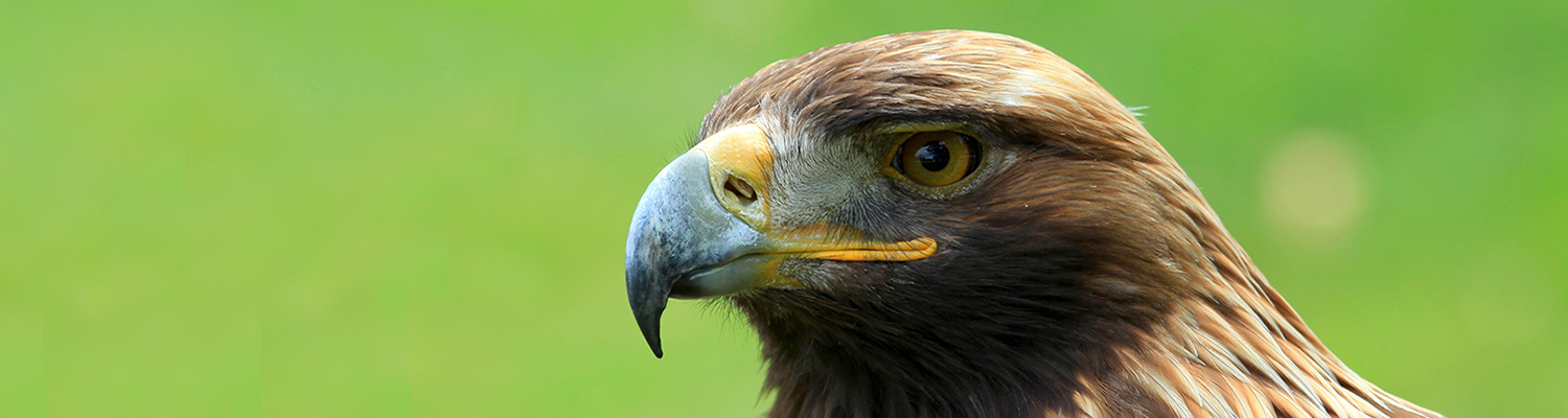 Golden Eagle © Fotosearch.com