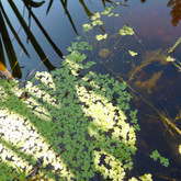 Bush pond duckweed (Lemna)