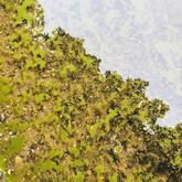 Lumpy cyanobacteria