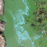 Paint-like cyanobacteria